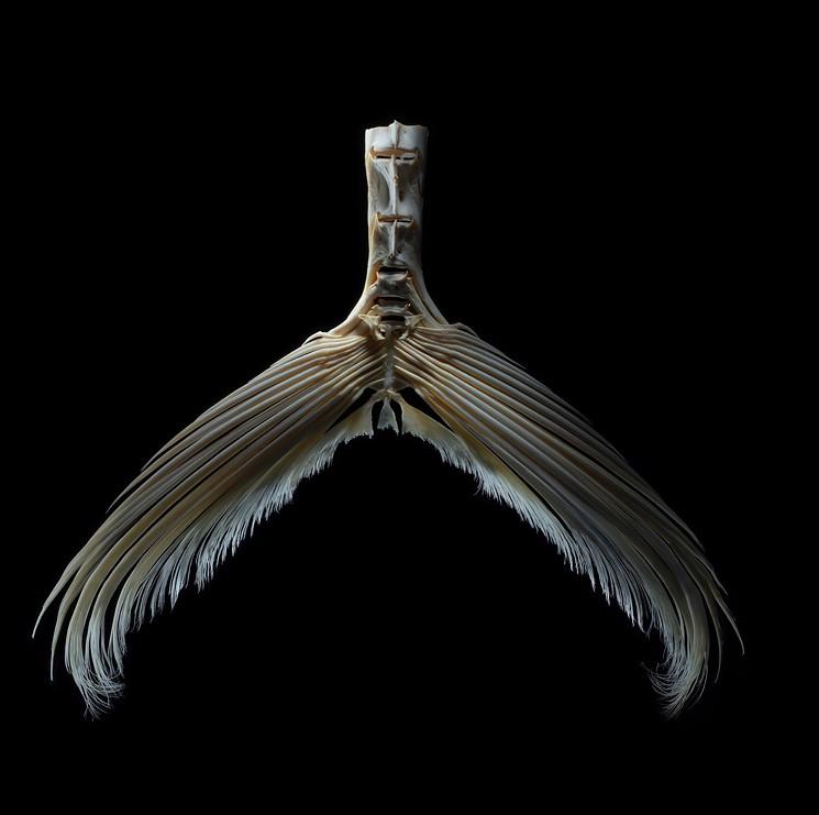 Bluefin tuna tail - PHOTO COURTESY OF ZACH SCHWARTZ